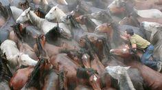 RODÉO À L'ESPAGNOLE. Cette photo a été prise samedi dernier dans le village de Sabucedo, en Galice, pendant la «Rapa das bestas», manifestation traditionnelle organisée ici depuis le début du XVIIIe siècle. Les quelque 600 chevaux sauvages qui vivent dans les collines environnantes sont d'abord rassemblés par les hommes, puis conduits à mains nues vers l'arène du village où les poulains de l'année sont marqués au fer, tandis que juments et étalons subissent une taille sévère de leur crinière…