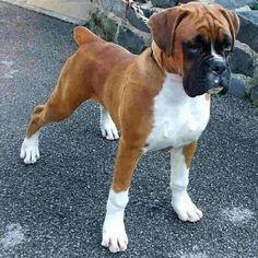 Gorgeous Boxer! #BoxerDog