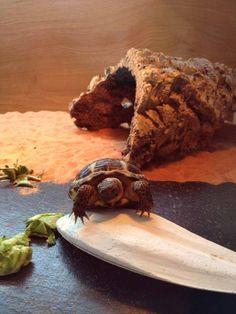 Amanda's pet, Floyd, inspecting his new cuttlefish bone! Russian Tortoise Care, Cuttlefish, Cute Animals, Community, Pets, Animales, Pretty Animals, Cutest Animals, Cute Funny Animals