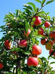 Growing gala apples.  @Corner Bakery Cafe
