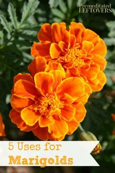 5 Ways to Use Marigolds in Your Home and Garden - Marigolds can be quite helpful around the home and garden and serve some important purposes.