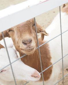 . world bokujoにて♪ ヤギの微笑み。 かわいらしい。 .  #ワールド牧場   #ヤギ   #微笑み   #笑顔   #cute   #ミラーレス一眼   #カメラ初心者   #camera   #カメラ好きな人と繋がりたい   #オリンパスペン   #orinpas
