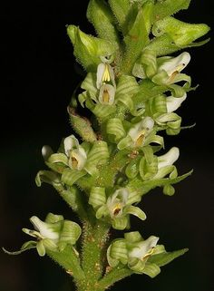 Ponthieva Orchids | Ponthieva ephippium Rchb.f. 1857 Photo by © Salazar and the Oxford ...