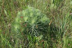 Liatris170 Wildflowers, Coastal, Herbs, Park, Green, Wild Flowers, Herb, Parks