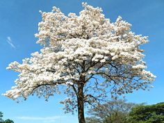 Ipê branco! Single Tree, Flowering Trees, Belleza Natural, Tropical Plants, Amazing Flowers, Amazing Nature, Life Is Beautiful, Beautiful Landscapes, Bonsai