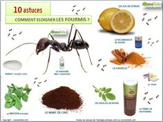 remede pour fourmi