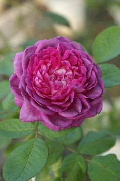 Reine des Violettes (Hybrid Perpetual) 1860. The blooms of this regal old favorite can range from tones of pink and lilac to magenta and this mixture produces a lovely smoky effect. A treasure to have in the garden. Repeat bloomer. Photo by 悠遊山城.樹玫瑰.庭園美食., via Flickr.