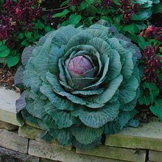 Front Garden Brassica oleracea (Ornamental cabbage, Ornamental kale) - Fine Gardening Plant Guide To line the walkway in the front yard Ornamental Cabbage, Ornamental Plants, Winter Window Boxes, Flowering Kale, Cabbage Flowers, Seaside Garden, Fine Gardening, Gardening Tips, Winter Plants