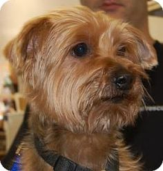 Brooklyn, NY - Sean Casey Animal Rescue, NO KILL, Yorkie, Yorkshire Terrier Mix. Meet LUCA, a dog for adoption. http://www.adoptapet.com/pet/13979083-brooklyn-new-york-yorkie-yorkshire-terrier-mix
