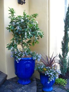 Blue Garden Pots A trio of cobalt blue garden pots stand out with bright pink i am posting photos of some of my container gardens and favorite plants in honor of our war veterans on memorial day these pots are bright bold and workwithnaturefo