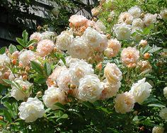 Ghislaine de Feligonde by Palustris, via Flickr  One of the most beautiful roses I've ever seen