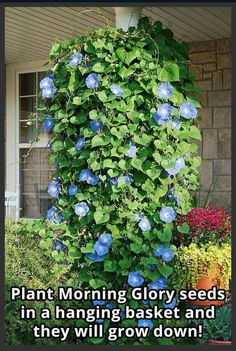 לפופית Plant Morning Glory seeds in a hanging basket and they will grow down! Morning glory seeds are protected by a tough coat. Soak the seeds in water for 12 to 24 hours before sowing or file away or nick off a small piece of the coat before plantin Blue Morning Glory, Morning Glory Flowers, Morning Glory Plant, Outdoor Plants, Outdoor Gardens, Outdoor Flowers, Plants Indoor, The Secret Garden, Pot Jardin