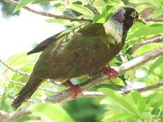 "Oriental Bird Club Image Database : ""Manui Fruit Dove"" » Ptilinopus sp."
