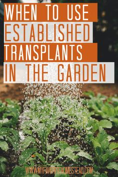 When you start a vegetable garden to be more self-sufficient, you may wonder if you should buy established transplants or start plants from seeds. If you're a beginner gardener, learn when you should established plants.