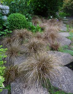 Carex Comans U0027Bronzeu0027. Clumping Glossy Ever Bronze Foliage. Arches To 1