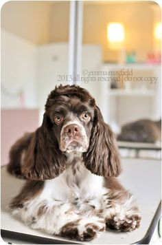 Cocker spaniel.  I was shocked when I first saw this picture.  This puppy is a mirror image of my baby that just passed away:(  I would love to know who's puppy this is.