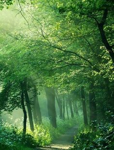 tassels:  Misty green forest path..