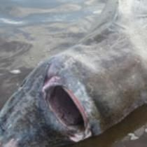 Two men pulled off what was perhaps the most Canadian animal rescue mission of all time this week when they saved a large Greenland shark from choking to death on a moose.