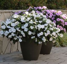 Splendid in containers bounce white impatiens disease resistant