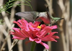 Attracting Hummingbirds and Orioles