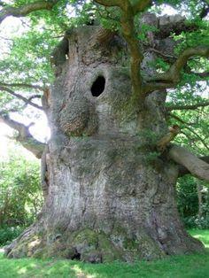 Zeer oude en bijzondere bomen...