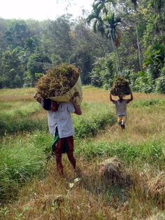 The organic rice harvest
