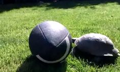 Turtle plays football
