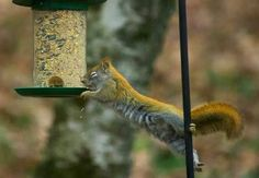 squirrel- acrobat.))