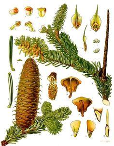 poznávačka - jehličnaté stromy