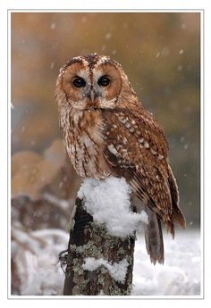 Superb Nature, Tawny Owl Scotland by Ronald Coulter...