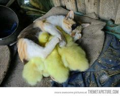 A cat sleeping with baby ducks…