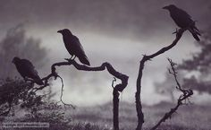 Crows on tree branches in fog