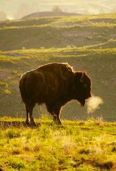Buffalo love ♡