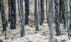 In the Sierra Nevada, high-intensity fires quickly grow into some of the rarest…