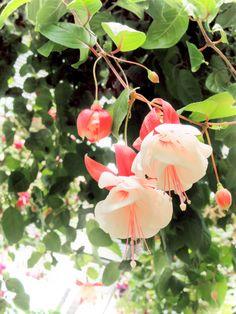 Fuchsia (fuchsia)  My Grandmother always had these in her garden