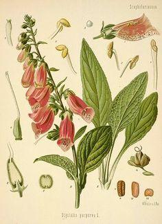 Noidankoto; Valkosipulia ja Salviaa: Sormustinkukka (Digitalis)