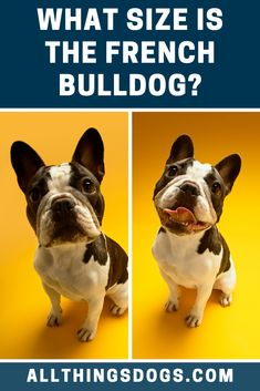 The French Bulldog size can be classified as toy, with the dogs standing between 11 to 12 inches tall. Males weigh 20 to 28 pounds, while females are slightly smaller at 16 to 24 pounds. Read on for more details.  #frenchbulldog #frenchbulldogsize #frenchie French Bulldog Breed, Bulldog Breeds, Happy Animals, Animals And Pets, Miniature Dog Breeds, Cute Dogs Breeds, Rabbits, Pet Dogs, The Past