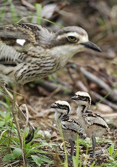 Bush Stone-curlew with chicks - Bush Stone-curlew or Bush Thick-knee (Burhinus grallarius, obsolete name Burhinus magnirostris) is a large, ground-dwelling bird endemic to Australia.