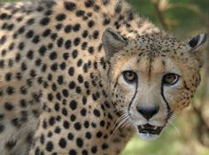 An African cheetah introduced into the Nehru Zoo, Hyderabad