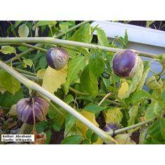 Physalis philadelphica \'Purple de Milpa\' - Tomatillo...