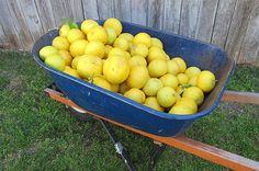 A barrow full of grapefruits from the Meroogal garden. Photo Scott Hill © HHT