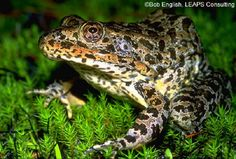 Gopher Frog - Lithobates capito. Known only from two records near Tullahoma in Coffee County, the Gopher Frog is unlikely to be seen in Tennessee.