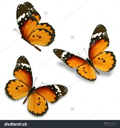 Three Orange Butterfly Isolated On White Background Стоковые фотографии 253222429 : Shutterstock