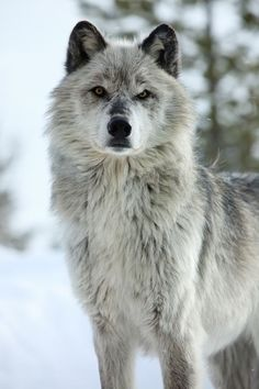 Wolves are so beautiful!