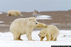 See polar bears at the Arctic National Wildlife Refuge in Alaska
