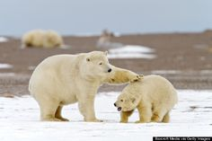 See polar bears at the Arctic National Wildlife Refuge in Alaska