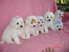 bichon frise puppies | Bichon Frise Puppies - Bender Farm - Papillon ~ Bichon Frise ...