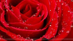 Wallpapers For > Wallpaper Of Red Roses