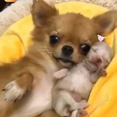 Effective Potty Training Chihuahua Consistency Is Key Ideas. Brilliant Potty Training Chihuahua Consistency Is Key Ideas. Chihuahua Facts, Teacup Chihuahua, Chihuahua Puppies, Cute Puppies, Dogs And Puppies, Chihuahuas, Chihuahua Clothes, Love Dogs, Beautiful Dogs