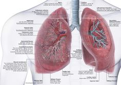 Human Lungs Anatomy HLA02